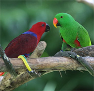 eclectus_small.jpg