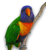 rainbow_lorikeet_small.jpg
